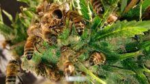 cannahoney-bees-marijuana